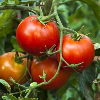 grow-tomato